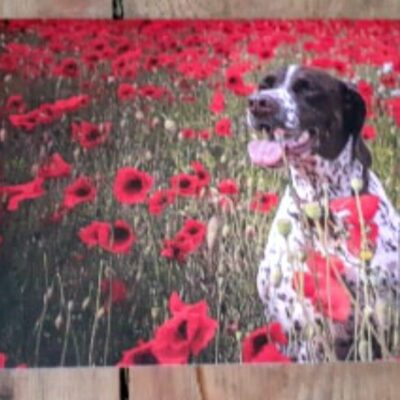 ''Betsy n' Poppies'' - Pointers In Need